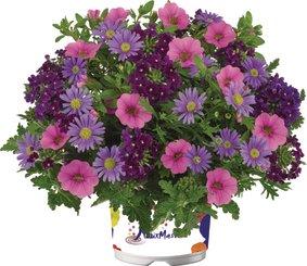 3 soorten in pot Purple-Rain snoekerpotplanten.nl