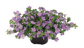 Bacopa_Great-Blue-Regal_snoekerpotplanten
