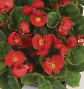 Begonia_rood_snoekerpotplanten