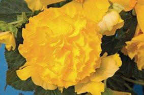 Begonia(knol)_geel_snoekerpotplanten