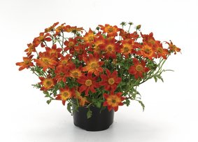 Bidens_Painted-Red_snoekerpotplanten