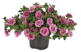 Calibrachoa _rosies pink vein_snoekerpotplanten