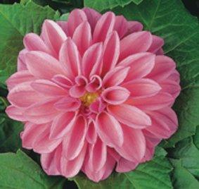 Dahlia_licht rose_snoekerpotplanten