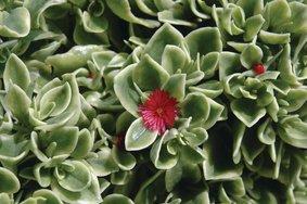Dorotheanthus_bont_snoekerpotplanten