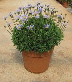 Felicia_blauw_ snoekerpotplanten