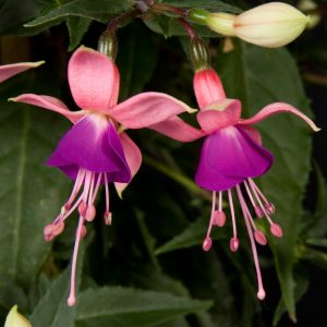 Fuchsia half hang_rosalien_snoekerpotplanten