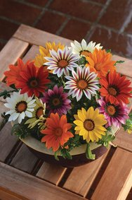 Gazania_diverse kleuren _snoekerpotplanten