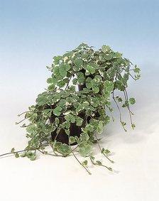 Glechoma_bont_snoekerpotplanten