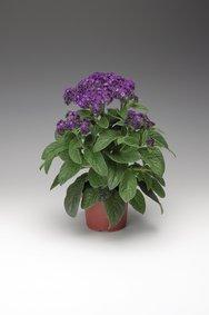 Heliotropium_donker blauw_snoekerpotplanten