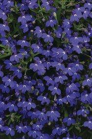 Lobelia_Dark-Blue_snoekerpotplanten