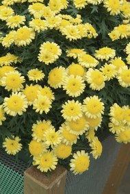 Margrieten_geel_snoekerpotplanten