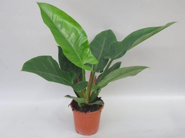 Philodendron_imperial green_snoekerpotplanten