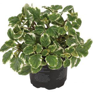 Plectranthus_bont blad_snoekerpotplanten