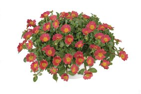 Portulaca hot pink snoekerpotplanten
