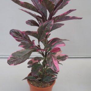 Pseuderanthemum reticulatum _ red_snoekerpotplanten