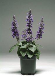 Salvia blauw in pot snoekerpotplanten