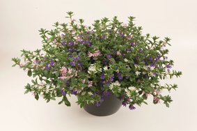 Scaevola_ 3 kleurenmix_snoekerpotplanten