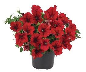Surfinia_Compact-Dark-Red_snoekerpotplanten