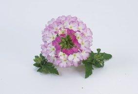 Verbena hang_Bicolour-Pink_snoekerpotplanten
