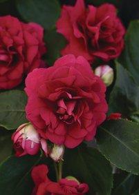 Vlijtig liesje fiesta_burgundy_snoekerpotplanten