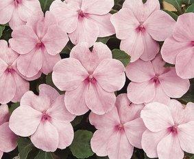 Vlijtigliesje in kluit_Pink_snoekerpotplanten