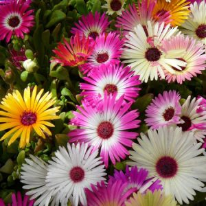 Yskruid_diverse kleuren_snoekerpotplanten
