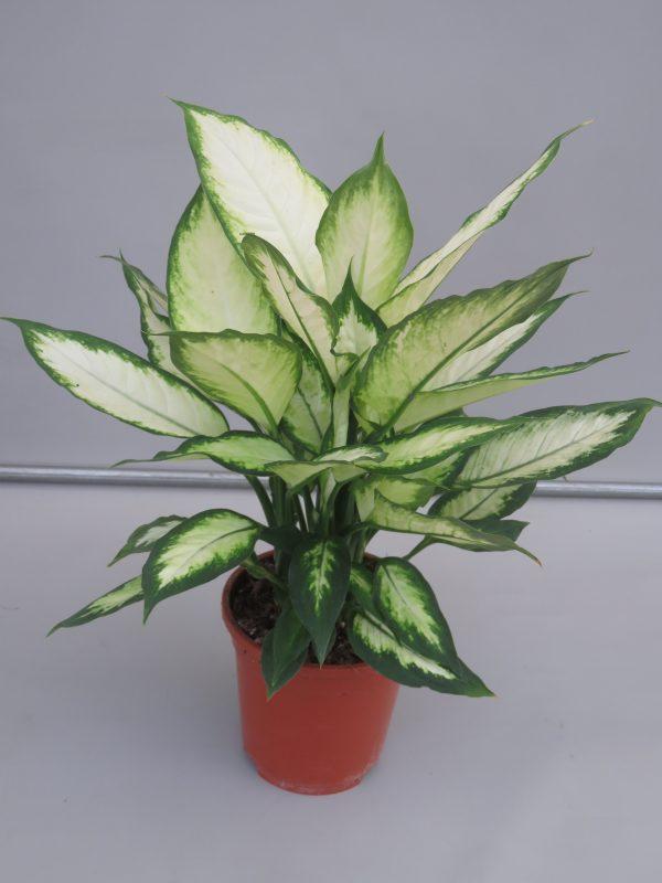 dieffenbachia_chrystal white_snoekerpotplanten