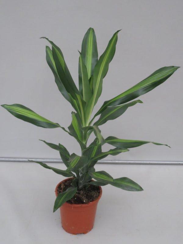 dracaena_cintho_snoekerpotplanten