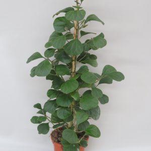 ficus_deltoidea olivia_snoekerpotplanten
