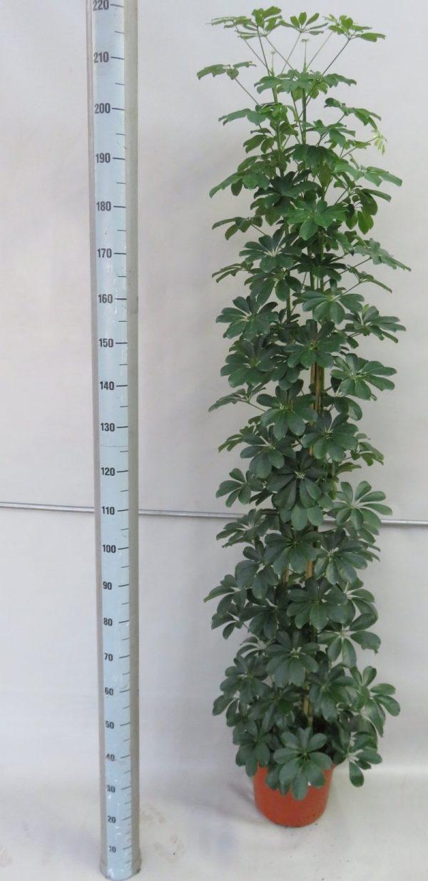 schefflera_compactapot 32_snoekerpotplanten