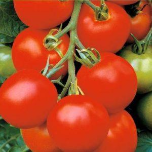 tomaat (balkon)_35 cm hoog_snoekerpotplanten
