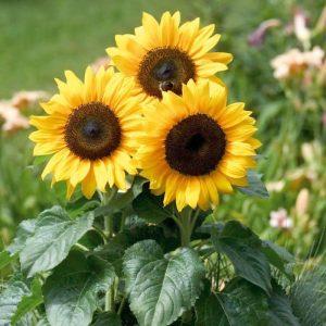 zonnebloem_geel_snoekerpotplanten